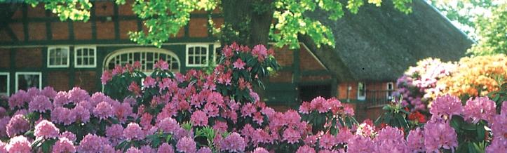 Rhododendron vor Fachwerkhaus