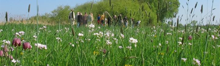 Wiese mit Schachbrettblume in der Wesermarsch